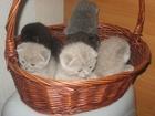 Фотография в Кошки и котята Продажа кошек и котят красивые плюшевые котята фолд и страйт приучены в Минске 0