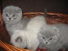 Фото в Кошки и котята Продажа кошек и котят плюшевые котята шотландские страйт и фолд в Минске 0