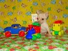 Фотография в Собаки и щенки Продажа собак, щенков Очаровательное супер микро-мини чихуахуа. в Минске 0