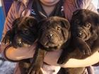 Фотография в Собаки и щенки Продажа собак, щенков Очаровательные щенки Шарпея. Щенки родились в Минске 300