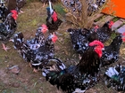 Увидеть foto  продам цыплят редких пород австралорп черно-пестры,фавероль,ленинградская ситцевая,павловская,пушкинская,царскосельская, 38421197 в Минске