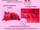 Фотография в Кошки и котята Продажа кошек и котят Продам перспективных котят от клубных, титулованных в Мончегорске 0