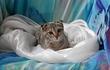Вислоухая кошечка, возраст 2 месяца, окрас
