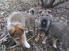 Фото в   Отдам в добрые руки щенков 2 месяца, метисов в Москве 0
