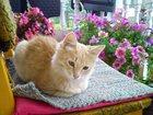 Фотография в  Отдам даром - приму в дар котик, 4 месяца, персикового цвета. только в Москве 0