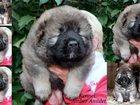 Фото в Домашние животные Разное Племенной питомник предлагает вам щенков в Москве 0