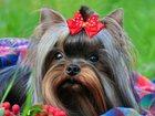 Фотография в Собаки и щенки Вязка собак Питомник Мини Фанфини предлагает для вязки в Москве 5000