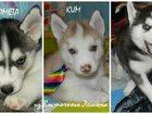 Фотография в Собаки и щенки Продажа собак, щенков Голубоглазые Хасята. Свободных осталось трое: в Клине 15000