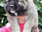 Фото в Домашние животные Услуги для животных Племенной питомник АМБЕР АМУЛЕТ предлагает в Москве 0
