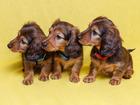 Изображение в Собаки и щенки Продажа собак, щенков Продаются щенки длинношерстной миниатюрной в Москве 25000