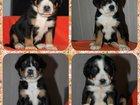 Фото в Собаки и щенки Продажа собак, щенков В связи со срочным отъездом в командировку в Москве 25000