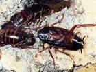 Свежее фото Разное Выведение (травля) насекомых, Дезинсекция муравьев, тараканов, блох, постельных клопов, 34614202 в Москве
