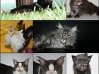 Увидеть фотографию Разное Котята Мейн-Кун 34783540 в Москве