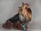 Просмотреть изображение Вязка собак 2 кобеля -йоркширские терьеры для вязки, Инструктор, 34834683 в Москве