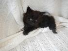 Изображение в   Очень надёжные и преданные кошки! Помёт от в Москве 10000