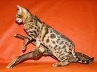 Изображение в   Питомник предлагает котят окраса розетка в Москве 15000