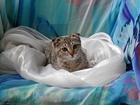 Изображение в   Вислоухая кошечка, возраст 2 месяца, окрассеребристый в Москве 0