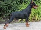 Скачать foto Вязка собак карликовый пинчер приглашает на вязку 38305393 в Москве