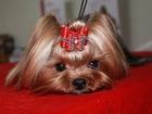 Уникальное фотографию Вязка собак Йоркширский терьер для вязки 53295950 в Moscow