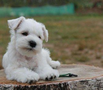 Фото в Собаки и щенки Продажа собак, щенков Хотите приобрести настоящего верного друга в Москве 0