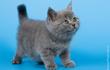 Монопородный питомник британских кошек предлагает