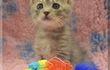 Котик, окрас светло-серый (голубой). Возраст