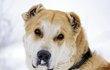 Эту красивую собаку, очень похожую на Осетинского