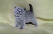 Продается британский котенок - кот лилового