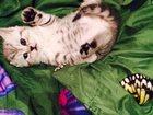 Изображение в Кошки и котята Продажа кошек и котят В продаже имеются очаровательные котятки в Москве 7000