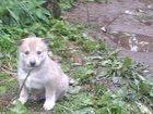 Фото в Собаки и щенки Продажа собак, щенков Продам щенков ЗСЛ от племенных зверовых линий. в Москве 20000