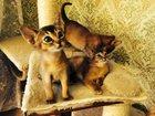 Фотография в   Продается абиссинские котята разных окрасов в Москве 15000
