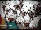 Изображение в Собаки и щенки Продажа собак, щенков В питомнике NEW GAME г. Москва, продаются в Москве 0