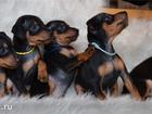 Фото в Собаки и щенки Продажа собак, щенков Племенной питомник предлагает щенков цвергпинчера в Москве 0