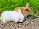 Изображение в Домашние животные Другие животные продаются крольчата . порода карликовый вислоухий в Москве 0