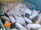 Фотография в Домашние животные Другие животные продаем поросят, месяц возраст, вес 6-8 кг, в Санкт-Петербурге 5500