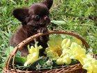 Фотография в Собаки и щенки Продажа собак, щенков Продаю шикарного мальчика чихуахуа, редкого в Москве 15000