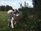 Фото в Собаки и щенки Вязка собак Предлагаем для вязки кобеля сибирского хаски, в Туле 0