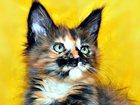 Фотография в Кошки и котята Продажа кошек и котят МЕЙН-КУН  Окрас черная солидная черепаха в Москве 15000