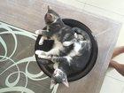 Изображение в Отдам даром - Приму в дар Отдам даром Два котенка серо-бежевой расцветки. Возраст в Москве 0