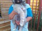 Фото в Собаки и щенки Продажа собак, щенков Продаются щенки кавказской овчарки рожденные в Москве 25000