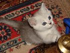 Фото в Кошки и котята Продажа кошек и котят Вы хотите ежедневно улыбаться и видеть счастье в Москве 4000