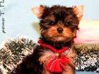 Фотография в Собаки и щенки Продажа собак, щенков Йоркширского терьера щенки продаются, мальчики, в Москве 12000