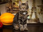 Фотография в Кошки и котята Продажа кошек и котят Туся - jadore ce chat (я обожаю эту кошку) в Москве 0