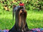 Фотография в Собаки и щенки Продажа собак, щенков Питомник Мини Фанфини предлагает для вязки в Москве 5000