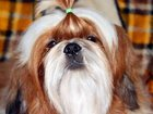Фото в Собаки и щенки Продажа собак, щенков Отдаем в добрые руки мальчика Ши-тцу. Возраст в Москве 0