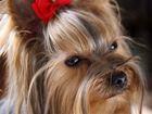 Фото в Домашние животные Услуги для животных Профессиональный грумер окажет услуги по в Москве 0