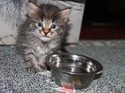 Изображение в Кошки и котята Продажа кошек и котят Из помета 27 сентября остаются только 2 котенка в Москве 0