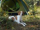 Фотография в Собаки и щенки Вязка собак Ищем суку для пойнтера. Красивый, молодой в Жуковском 0