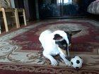 Foto в   Продам собачку порода той фокстерьер девочка в Барнауле 6000