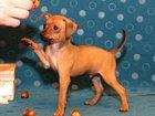 Фото в Собаки и щенки Продажа собак, щенков Продаю щенков Русского той терьера огненно-рыжего в Москве 18000